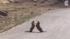 Кулачный бой сурков попал на видео