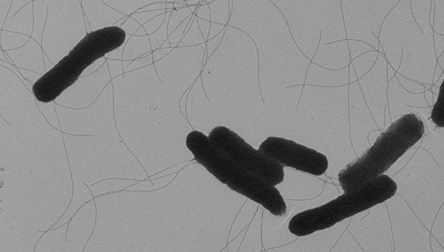 Бактерия сальмонелла. Архивное фото