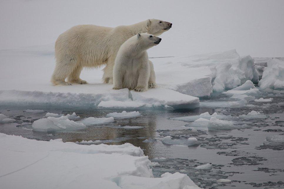 Белые медведи, Земля Франца-Иосифа, национальный парк «Русская Арктика».