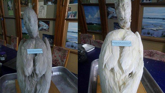 Чучело пеликана в Национальном научно-естественном музее в Киеве