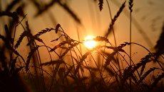 Пшеница на полях. Архивное фото