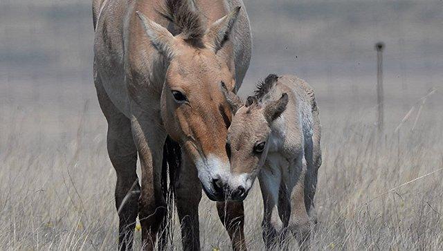 Лошадь Пржевальского Райзол с жеребенком в Оренбургском заповеднике