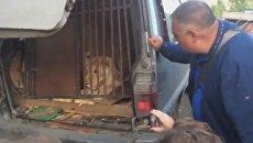В Челябинске львица и две собаки почти две недели были заперты в машине. Скриншот видео