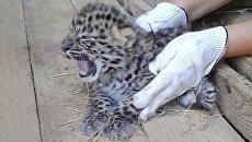Детеныш дальневосточного леопарда в Центре воспроизводства редких видов Московского зоопарка