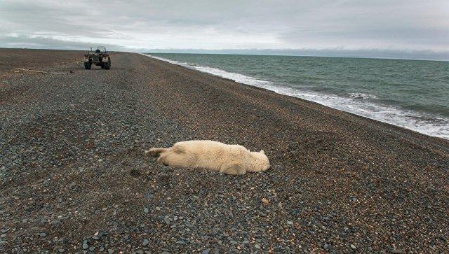 Убитый белый медведь на побережье Чукотского моря. Архивное фото