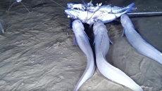Кадр из видео, на котором замечен новый вид рыб, обитающий на дне Тихого океана