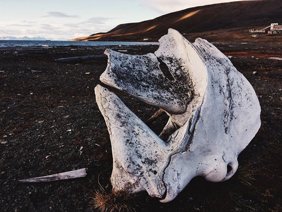 Частая находка на берегу — кости кита. Окрестности поселка Колсбей