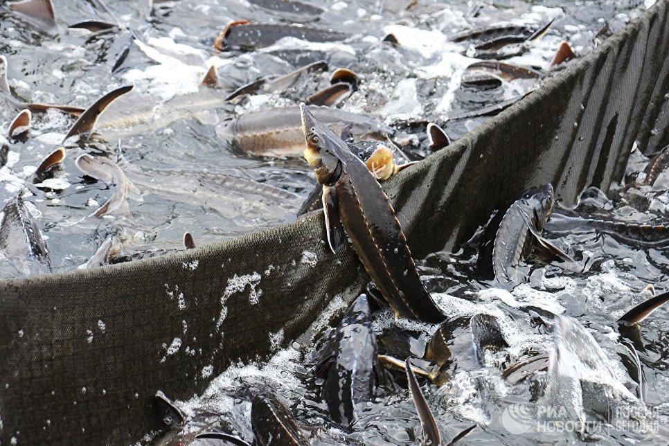 Осетр в садковой линии в рыбоводческом комплексе Тамбовский осетр