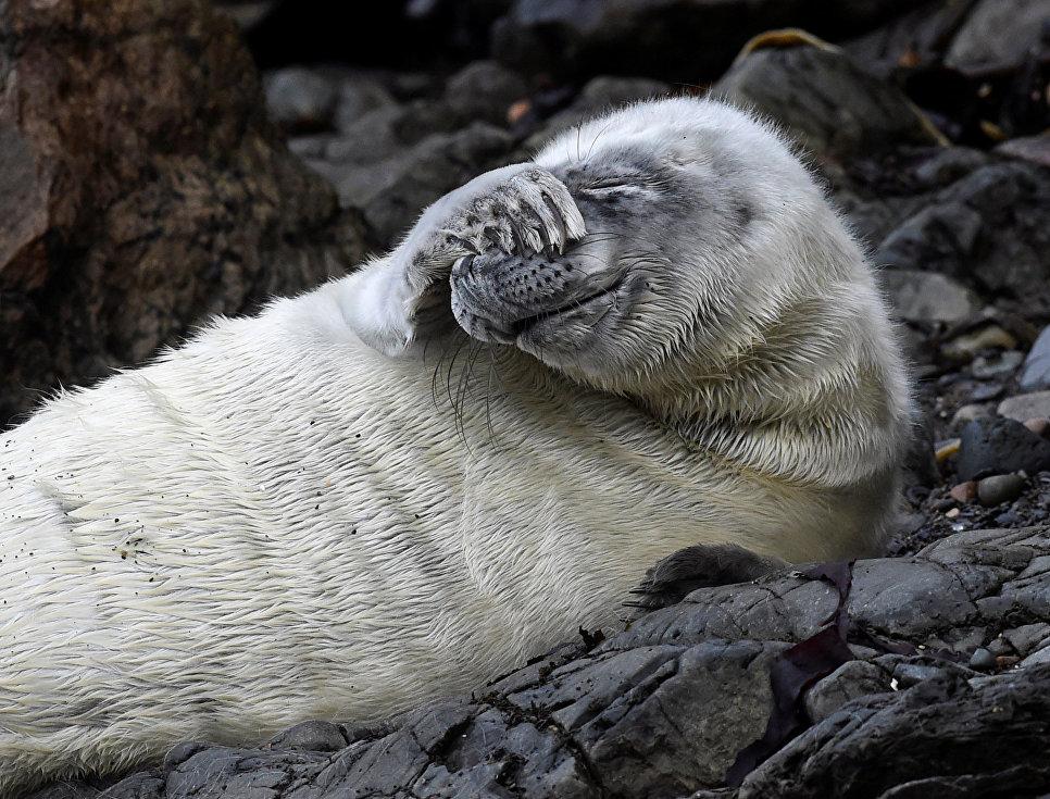 Щенок тюленя лежит на скалах на пляже в Южном Уэльсе