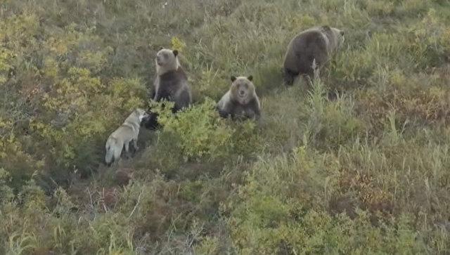 Собака – друг медведя: как бездомная лайка вошла в семью косолапых