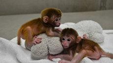 Року и Гекс - первые в мире обезьянки-химеры от шести матерей