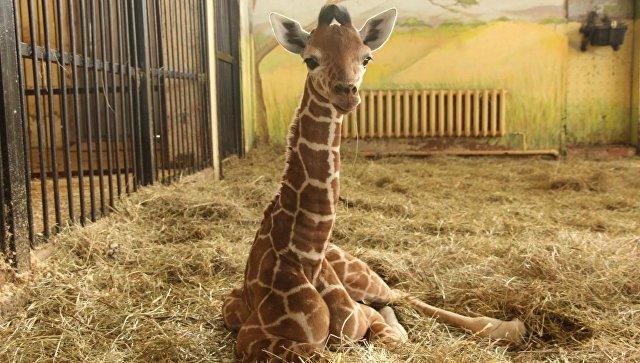 Жираф, переехавший из Калининграда в Белгород, умер от язвы желудка