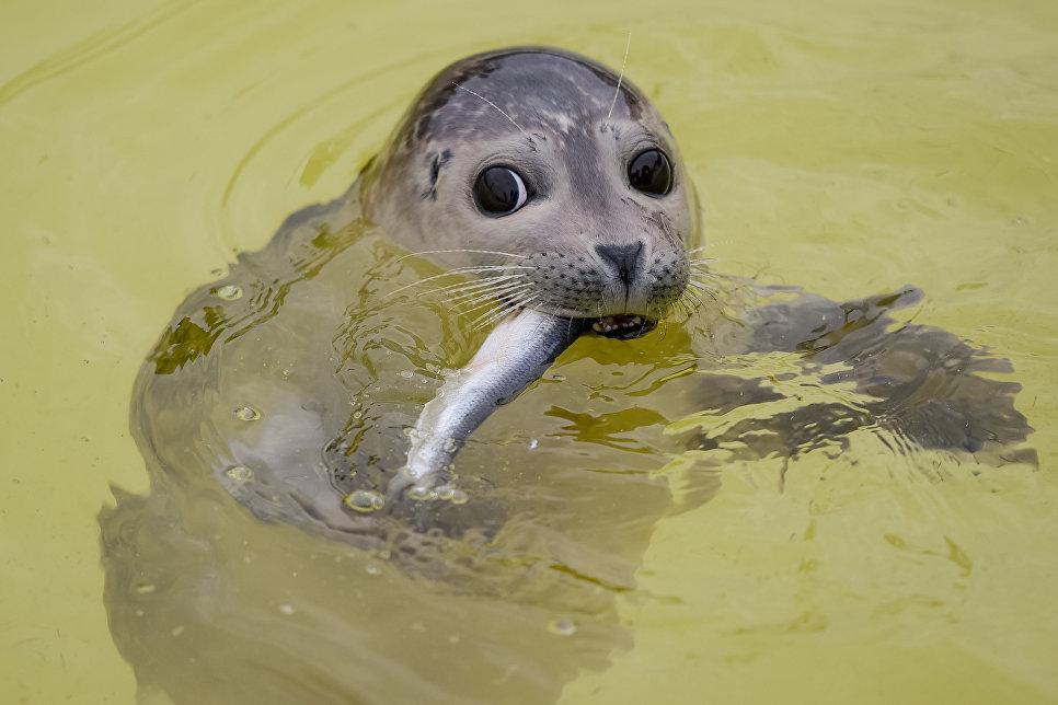 Детеныш тюленя ест рыбу в приюте для тюленей во Фридрихскоге, Германия