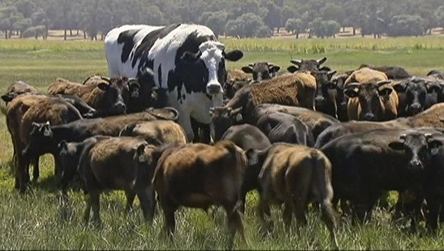 Самый большой бык в Австралии Никерс