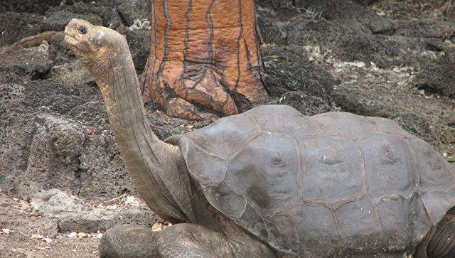 Ученые расшифровали геном последней гигантской черепахи Галапагоса