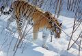 Амурский тигр в лесах Приморского края