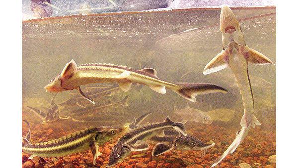 Загрязнение воды может менять пол речных рыб, считают ученые