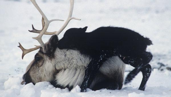Северный олень. Архив