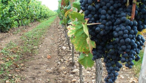 Виноградная плантация. Архивное фото