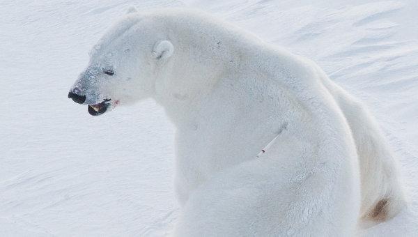 Белый медведь на архипелаге Земля Франца-Иосифа.