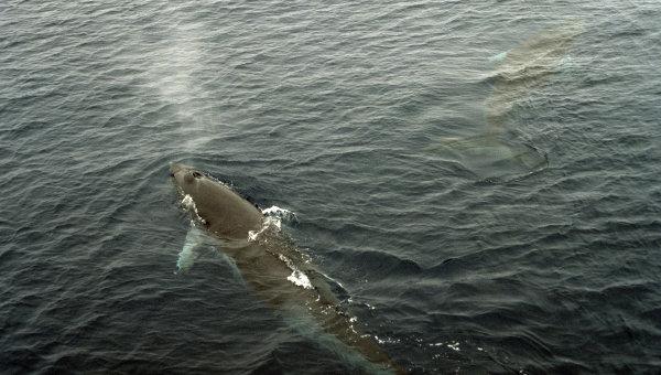 Малый полосатик (кит Минке)