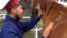 Казаки чистят коней-рекордсменов перед дальним походом во Францию