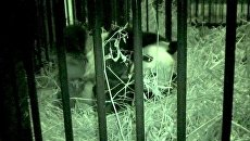 Новорожденный медвеженок панды кричит в объятих мамы