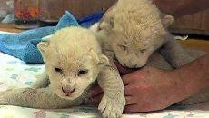 Львята-альбиносы родились в белградском зоопарке