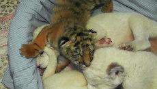 Новорожденные амурские тигрята играют с львятами и кусают их за уши