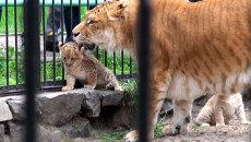 Лилигрята, путаясь в лапах, учатся бегать в Новосибирском зоопарке
