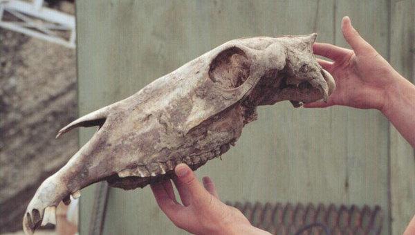 Череп древней лошади, захороненный в канадской вечной мерзлоте 700 тысяч лет назад