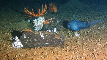 Глубоководные организмы у метановых выбросов в Охотском море