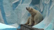 Белый медведь из Москвы ждет невесту в Новосибирском зоопарке