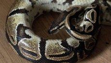 Потерянный питон, или Как спасатели для упавшей из окна змеи искали добрые руки