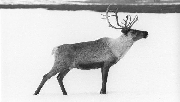 Северный олень. Архивное фото