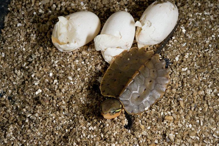 Большеголовая черепаха