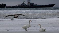 Лебединая пара, оставшаяся на зимовку в Приморье