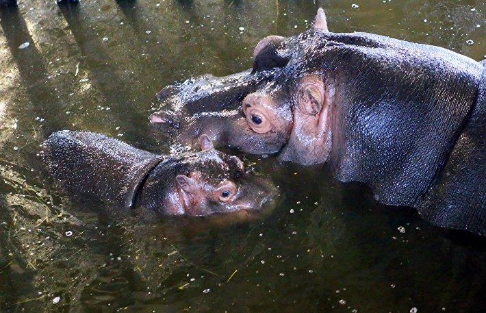 В Калининградском зоопарке на свет появился детеныш бегемота